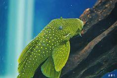 L200 Aquarium Catfish, Saltwater Aquarium Fish, Freshwater Aquarium Fish, Custom Aquariums, Plecostomus, Cool Fish, African Cichlids, Phish, Fish Tanks