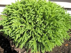 "Dwarf Globe Conifers in the Landscape Cryptomeria japonica ""golbosa nana"" Landscaping Plants, Front Yard Landscaping, Garden Plants, Landscaping Ideas, Dwarf Evergreen Shrubs, Trees And Shrubs, Evergreen Trees, Flowering Shrubs, Small Gardens"