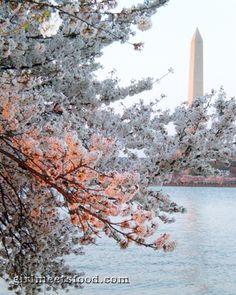 Cherry blossoms, Washington, DC.