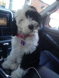 Sheepadoodle - I want one!