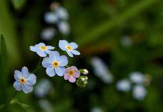 忘れな草(英名:forget-me-not)は、中世ドイツの悲恋伝説(後述)に登場する主人公の言葉にちなみます。属名のミオソティス(myosotis)は、ギリシア語の「mys(ハツカネズミ)」と「ous(耳)」を語源とし、葉の形がハツカネズミの耳のようであることに由来するといわれます。 ワスレナグサの花言葉は、 「真実の愛」「私を忘れないで」 ※西洋での花言葉・英語 Language of flowers 「true love(真実の愛)」「memories(思い出)」