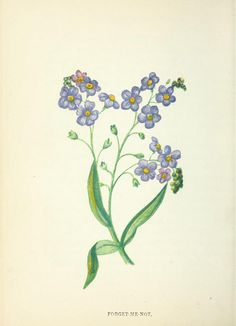 Forget-Me-Not botanical