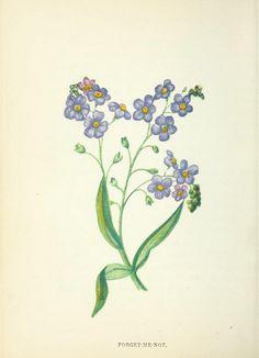 Forget-Me-Not botanical