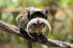 THE EMPEROR TAMARIN. Need more 'stache in your life? Emperor Tamarins can be found in the Amazon rainforest throughout parts of Peru, Bolivia, and Brazil. The mustachioed primates live in troops (usually consisting of two to eight members) that are led by the eldest female.
