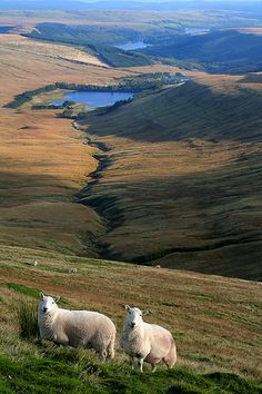 4 reservoirs and a sheep (or 2), top of Pen-y-fan, the highest peak in south Wales, Brecon Beacons National Park, U.K.