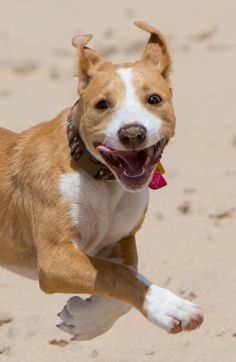 Zelda's 1st trip to the beach...pure joy! @BarkPost @barkbox