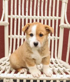 🐾Come and meet Rosie a #handsome, #adorable #loving #WelshCorgi #puppy. #Sweet Rosie will make the perfect #playmate for the entire #family! Any adventures you pick she'll be delighted to join you. • #Charming #PinterestPuppies #PuppiesOfPinterest #Puppy #Puppies #Pups #Pup #Funloving #Sweet #PuppyLove #Cute #Cuddly #Adorable #ForTheLoveOfADog #MansBestFriend #Animals #Dog #Pet #Pets #ChildrenFriendly #PuppyandChildren #ChildandPuppy #LancasterPuppies www.LancasterPuppies.com