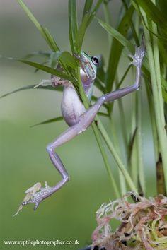 Climbing froglet by AngiWallace.deviantart.com on @deviantART...................................d