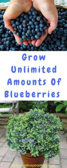 Grow Unlimited Amounts Of Blueberries In Your Backyard!!! #herbgardening