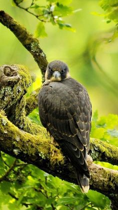 Peregrine Falcons _ favorite animal!