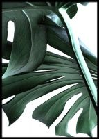 Botanical poster with motif of the popular Monstera plant in close-up. Monstera has become an massively popular plant in many ho Posters Wall, Love Posters, Floral Posters, Elephant Poster, Lion Poster, Poster Shop, Print Poster, Cactus Poster, Botanical Gallery Wall