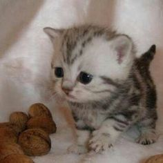 These cute kittens will bring you joy. Cats are amazing friends. Cute Kitten Pics, Tiny Kitten, Cute Kittens, Cats And Kittens, Munchkin Kitten, Kittens Cutest Baby, Black Kittens, Kitten Images, Small Kittens