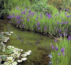 Need to get some Siberian iris for the pond landscaping