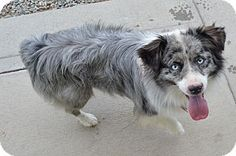 Buena Vista, CO - Australian Shepherd Mix. Meet Tosh, a dog for adoption. http://www.adoptapet.com/pet/16449456-buena-vista-colorado-australian-shepherd-mix