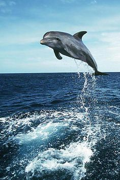 3d iphone wallpapers background lock screens - dolphin