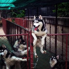 Siberian Huskies only choose to stay put because they can easily escape. They're the Houdini of the dog world.