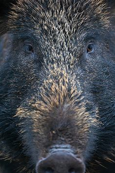 Credit: Peter Cairns/Wild Wonders of Europe Female wild boar (Sus scrofa), Alladale, Scotland. The wild boar has experienced a larg. Wyoming, Cairns, Cute Wild Animals, Fallow Deer, Hog Hunting, Wild Creatures, Wild Boar, Animals Of The World, Bird Species