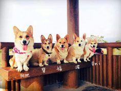 Doggies, Corgi, Cute, Animals, Animales, Animaux, Pet Dogs, Kawaii, Corgis