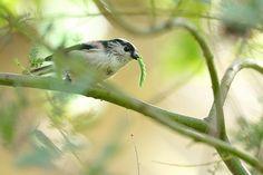 エナガ Long-tailed Tit