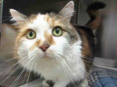 Hello, everyone! I'm the stunning girl named Lucy and I'm very happy to meet you. I'm hoping that you will be the one that decides to adopt me and keep me forever. I am a spayed female, calico Domestic Longhair and I am about 5 years old. (ID#A054500)