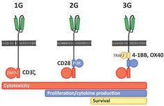 Depiction of 3 generations of CARs - Chimeric antigen receptor - Wikipedia, the free encyclopedia