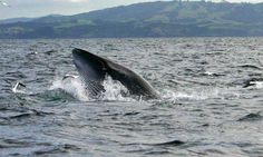 Photo ID could help long-term survival of the Hauraki Gulf's Bryde's whale population