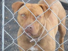 Petango.com – Meet Nina, a 2 years 3 months Terrier, Pit Bull available for adoption in RUSSELLVILLE, KY