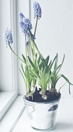 Grape Hyacinths reaching for the sun on a windowsill