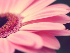 Pink Flower Desktop Wallpaper, Pink Flower Backgrounds, New Wallpapers Pink Gerbera, Pink Daisy, Pink Flowers, Colorful Flowers, Gerbera Daisies, Summer Flowers, Tulips, Flores Wallpaper Hd, Flower Wallpaper