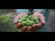 Acerola Cherries: The Key to Nutrilite Vitamin C - YouTube
