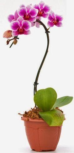 Paixão por orquídeas - Meu orquidário: Mini-Phalaenopsis: Como cultivar em árvores?