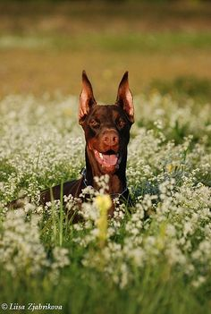 #Doberman peeking out through the flowers.