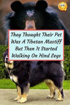 #Pet #Tibetan #Mastiff #Walking #Hind #Legs