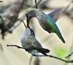 Hummingbird feeding time - Precious!