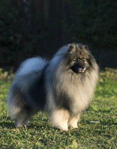 Keeshond male dog