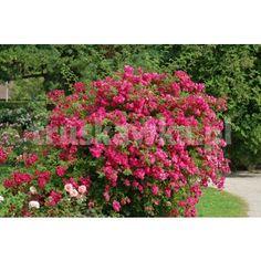 Róża Rosarium Uetersen - pnąca