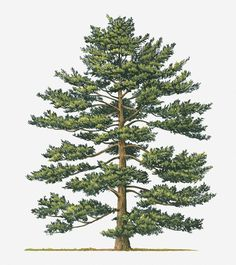Illustration Of Pinus Parviflora (japanese White Pine) Evergreen Tree Illustration Of Pinus Parviflo Tree Watercolor Painting, Tree Clipart, Pine Tree Tattoo, Spruce Tree, Landscape Drawings, Landscape Design, Evergreen Trees, Tree Illustration, Tree Art