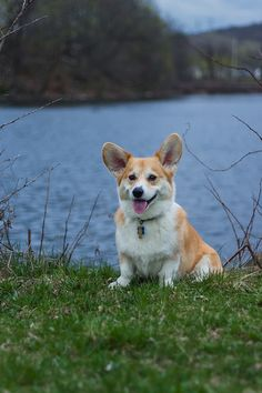 Corgi...they are the best doggies ever----