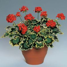 Rounded, golden yellow leaves marked with purple, pink, and green. Bears clusters of single, light red-orange flowers. Grows to 12 inches. Sun/Shade