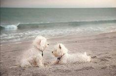 Seaside Westie Cuties