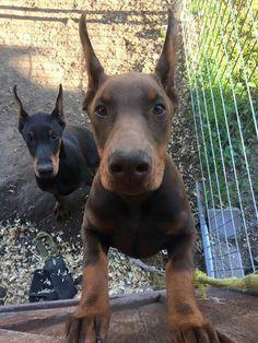 Doberman dogs #DobermanPinscher