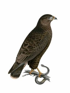 Buse Variable, Falcon Hawk, Birds Of Prey, Natural Beauty, Eagle, Nature, Crafts, Animals, Naturaleza