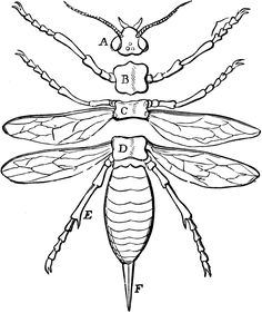 body images clip art | Parts of an Insect | ClipArt ETC