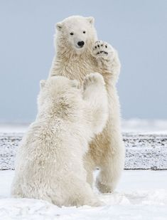 Hi-Five Polar Bear Cubs, Michelle Theall,nature Photographie National Geographic, National Geographic Travel, Bear Cubs, Polar Bears, Grizzly Bears, Tiger Cubs, Tiger Tiger, Bengal Tiger, Teddy Bears