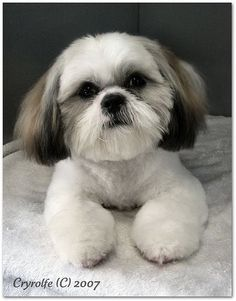 Shih Tzu Grooming Style Photos - WOW.com - Image Results #catgroomingstyles