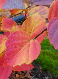 Fothergilla shrub selection - 'Blue Shadow' fall leaf color ... on top of sweet, honey-scented white bottle-brush like flowers earlier in the growing season.