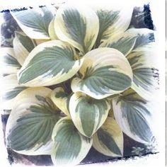 "Hosta 'Liberty'. Medium green upright with cream/yellow margins. Lavender Flowers. Full sun. 60""x20"""