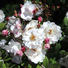 Ramblerrose 'Paul´s Himalayan Musk®' online kaufen & bestellen Himalayan, Pergola, Flowers, Plants, England, Gardening, Products, Climbing Roses, Perennials