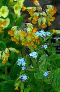 Primula veris with Myosotis; Mark Denee at Cool Plants blog