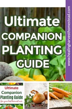 The Ultimate Guide to Companion Planting is here at last! Find out which vegetables, herbs, and flowers to plant together (or not) in your Spring Garden this year. This guide is for the experienced and beginner gardener and will give you tons of ideas for a successful garden. #garden #ideas #tips #howto #design #vegetable #hacks #herb #flowers #companionplanting #ideas #plan #healingharvesthomestead